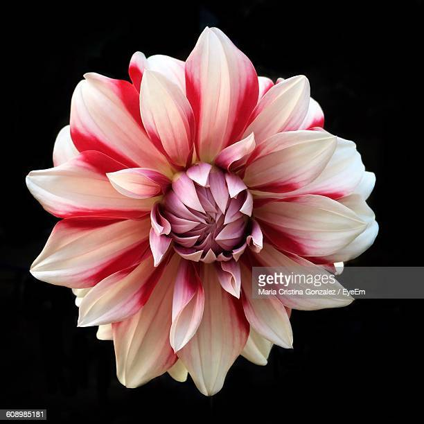 Close-Up Of Pink Dahlia Against Black Background