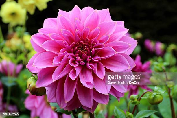 Close-Up Of Pink Dahlia Blooming At Park