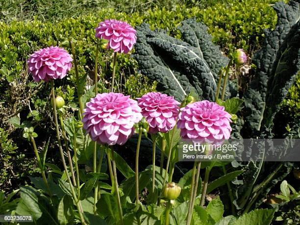 Close-Up Of Pink Dahlia Flowers Blooming In Garden