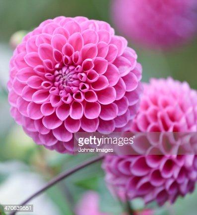 Close-up of pink dahlias