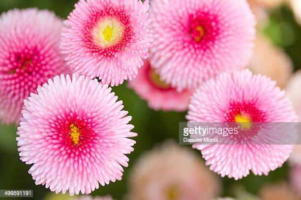 Closeup of pink daisy flowers