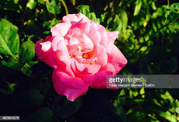 Close-Up Of Pink Flower Blooming In Garden