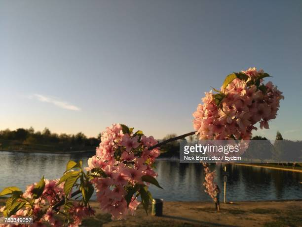 Close-Up Of Pink Flowers Blooming On Tree By Lake Against Sky