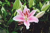 Close-Up Of Pink Lily Blooming Outdoors