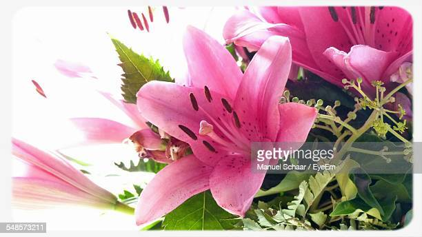 Close-Up Of Pink Lily Flowers Blooming In Garden