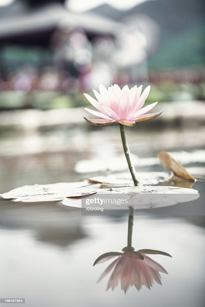 Close-up of pink lotus flower on a lake in China, reflection in the water