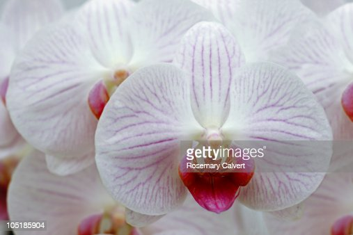 pink orchids close up - photo #43
