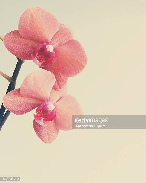 Close-Up Of Pink Orchids Against White Background