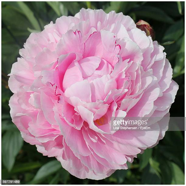 Close-Up Of Pink Peony Blooming In Lawn