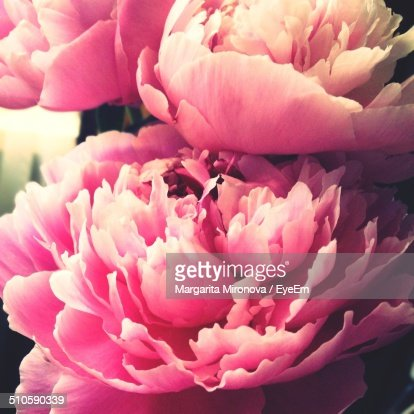 Close-up of pink peony flower blooming