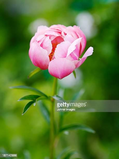 Close-up of pink peony flower