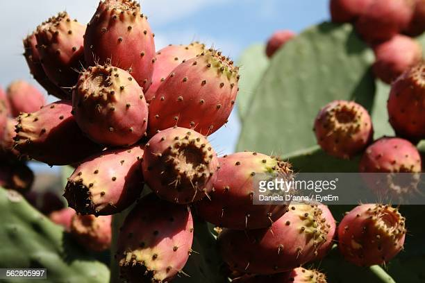 Close-Up Of Pink Prickly Pear Cactus Fruits