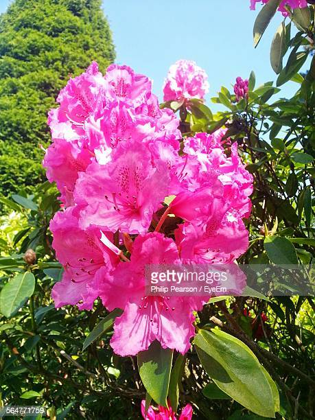 Close-Up Of Pink Rhododendron Flowers