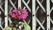 Close-Up Of Pink Rose Blooming Against Metal Gate