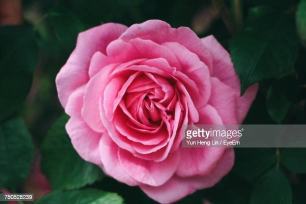 Close-Up Of Pink Rose Blooming Outdoors