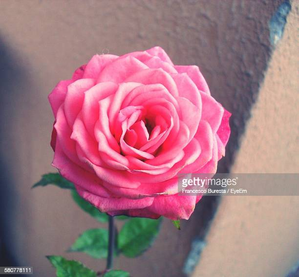 Close-Up Of Pink Rose Growing On Plant Against Wall