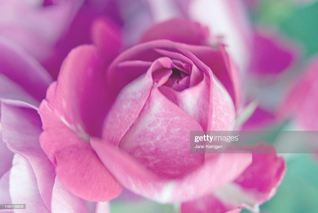 Closeup of pink rose : Stock Photo