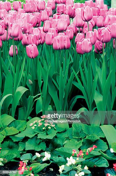 Close-up of pink Tulips in a field, Keukenhof, Netherlands