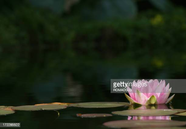 Close-up of pink Water Lily floating on water