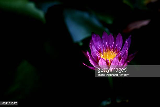 Close-Up Of Pink Waterlily