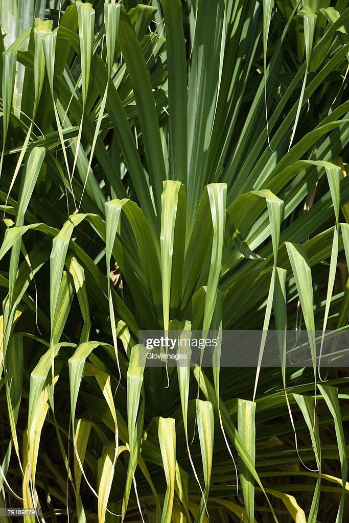 Close-up of plants, Liliuokalani Park And Gardens, Hilo, Hawaii Islands, USA : Stock Photo