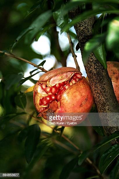 Close-Up Of Pomegranates Growing On Tree