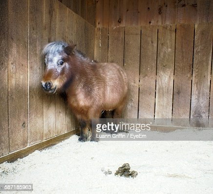Close-Up Of Pony Standing In Stable