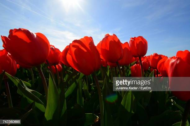 Close-Up Of Poppies Blooming In Field Against Sky