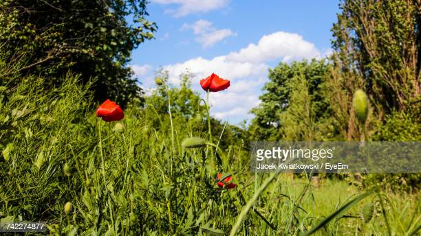 Close-Up Of Poppy Flowers Blooming Against Sky