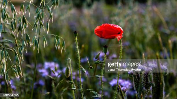 Close-Up Of Poppy With Phacelia Growing On Field