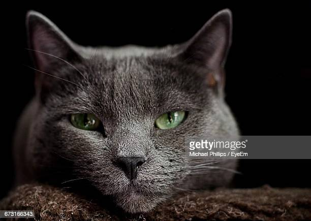 Close-Up Of Portrait Of Russian Blue Cat Relaxing On Rug