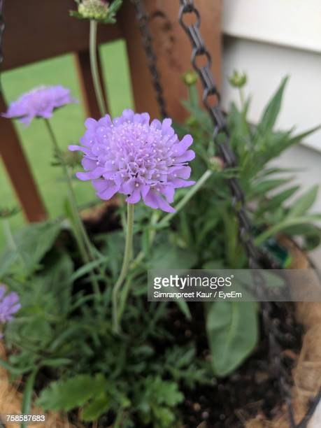 Close-Up Of Potted Purple Flower Blooming Outdoors