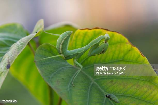 Close-Up Of Praying Mantis On Leaf