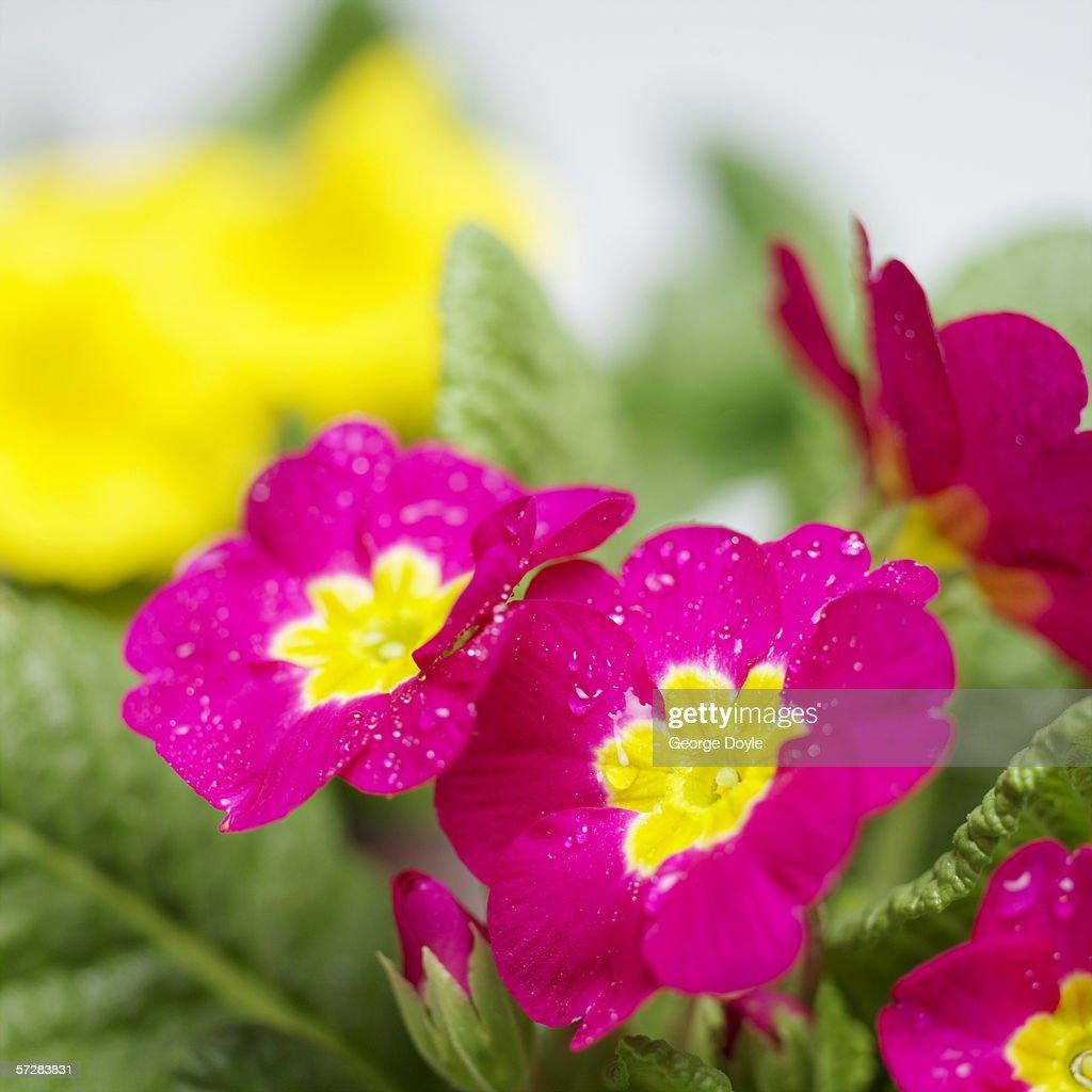 Close-up of primroses