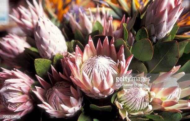 Close-Up Of Proteas