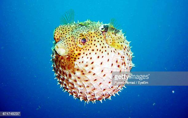 Close-Up Of Puffer Fish In Sea