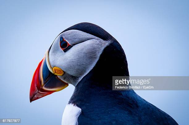 Close-Up Of Puffin Against Sky