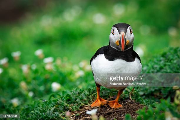 Close-Up Of Puffin On Field