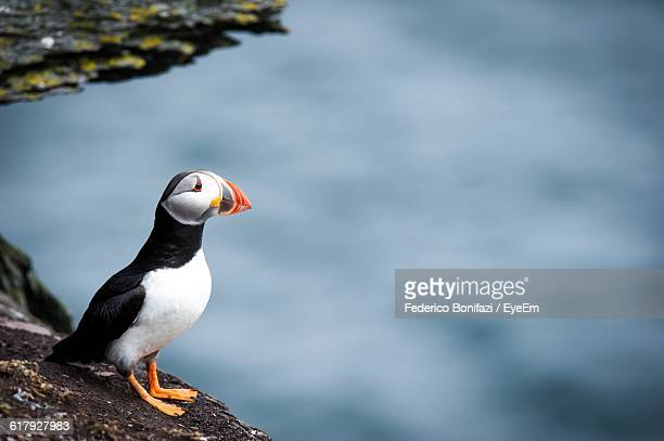 Close-Up Of Puffin On Rock By Lake