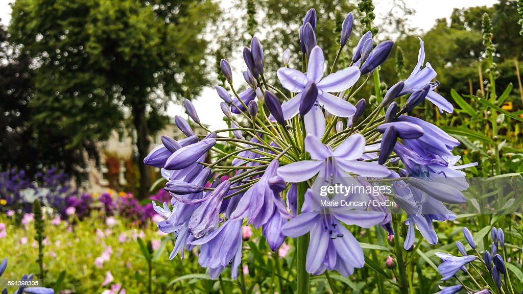 Close-Up Of Purple Agapanthus Blooming Outdoors