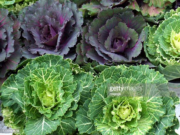 Close-up of purple and green cabbages