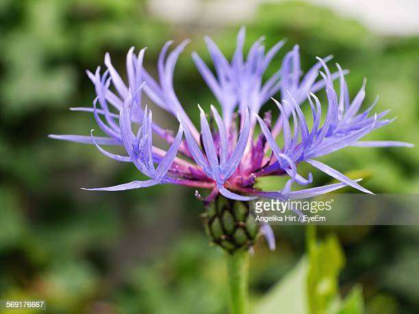 Close-Up Of Purple Centaurea Blooming Outdoors