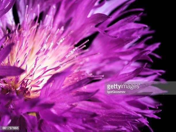 Close-up of Purple cornflower (Centaurea) flower head