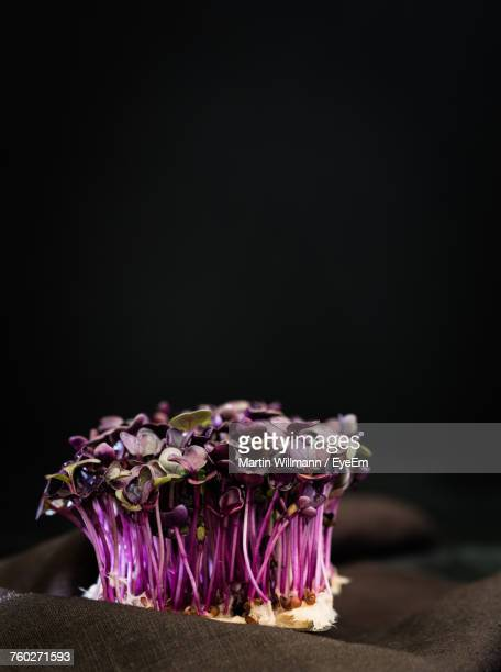 Close-Up Of Purple Cress Against Black Background