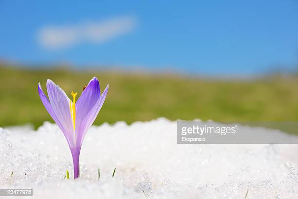 Close-up of purple crocus in snow