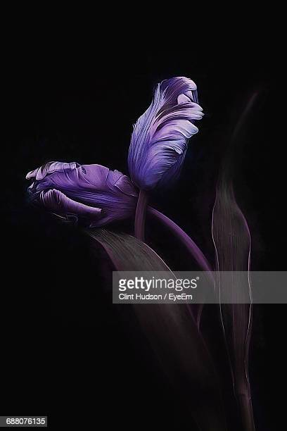Close-Up Of Purple Flower Buds Against Black Background