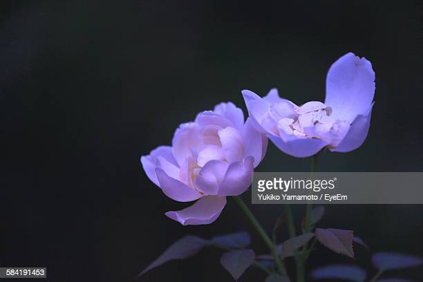 Close-Up Of Purple Flowers Blooming In Park At Night