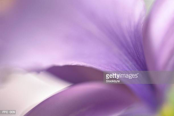 Close-up of purple petals
