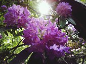Close-Up Of Purple Rhododendrons Blooming In Garden On Sunny Day
