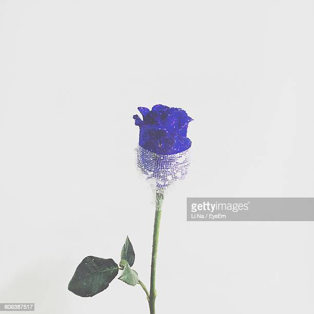 Close-Up Of Purple Rose Against White Background